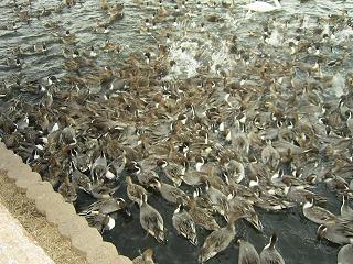 番外:野生生物たる水鳥の餌付けについて